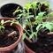 Obrázok produktu Plant Your Pencil – Basil
